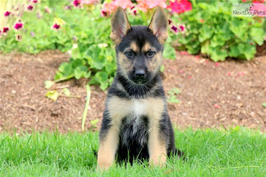 Posh German Shepherd Puppy For Sale Near Lancaster Pennsylvania