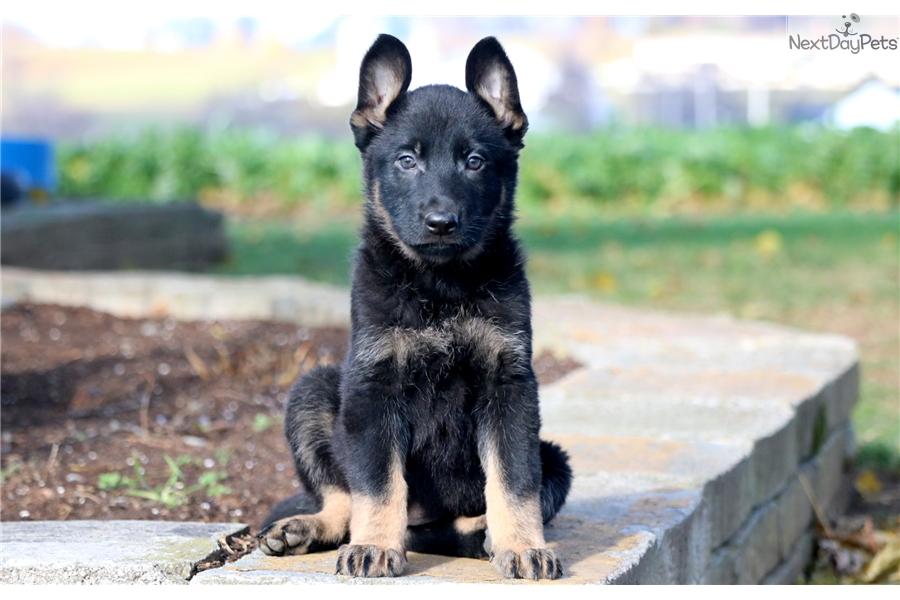 Dora German Shepherd Puppy For Sale Near Lancaster Pennsylvania - Dora german shepherd
