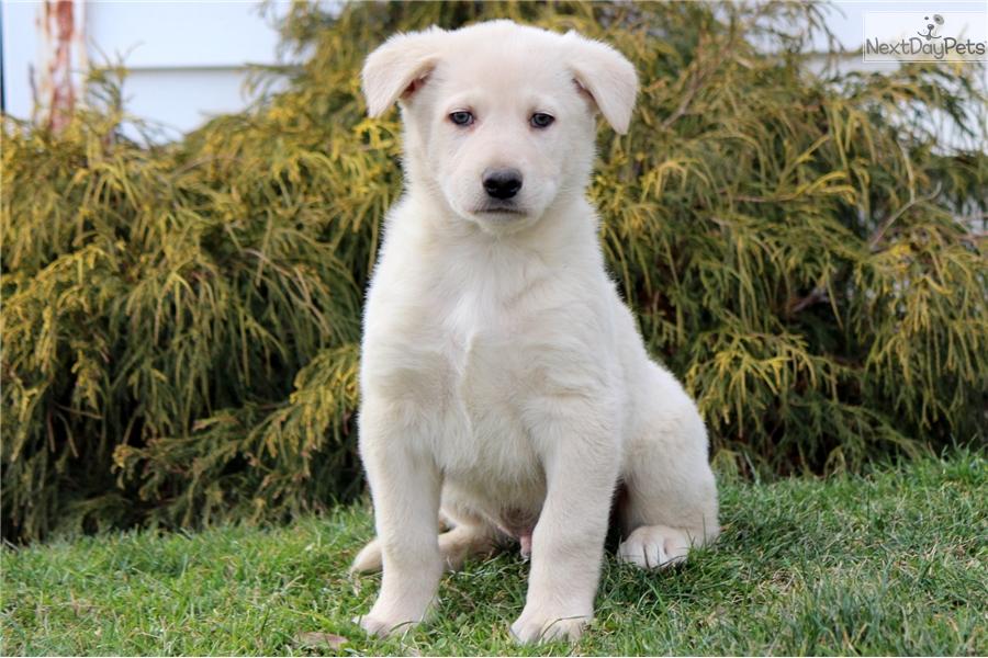 Sebastian German Shepherd Puppy For Sale Near Lancaster