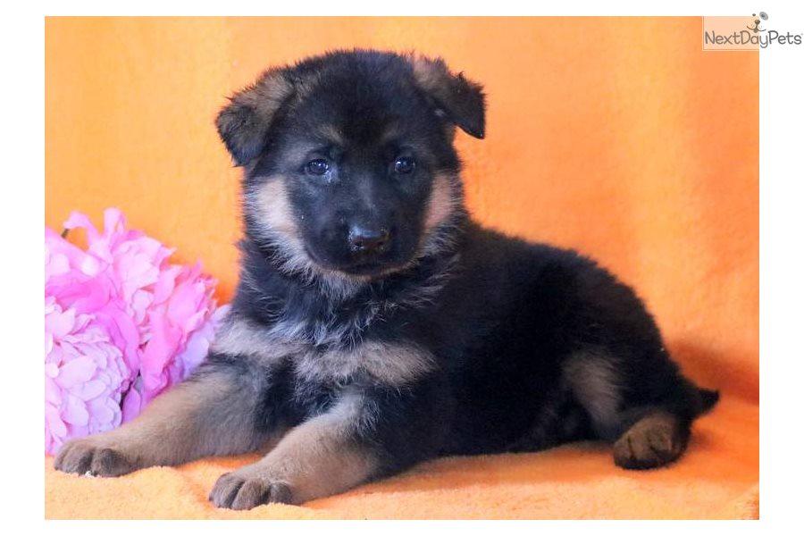 Panther German Shepherd Puppy For Sale Near Lancaster Pennsylvania