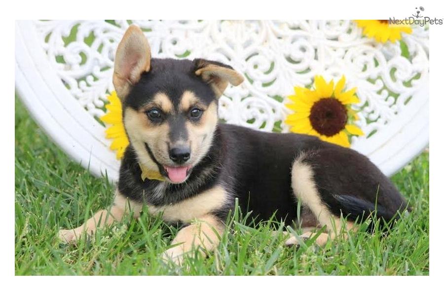 Sally: German Shepherd puppy for sale near Lancaster, Pennsylvania