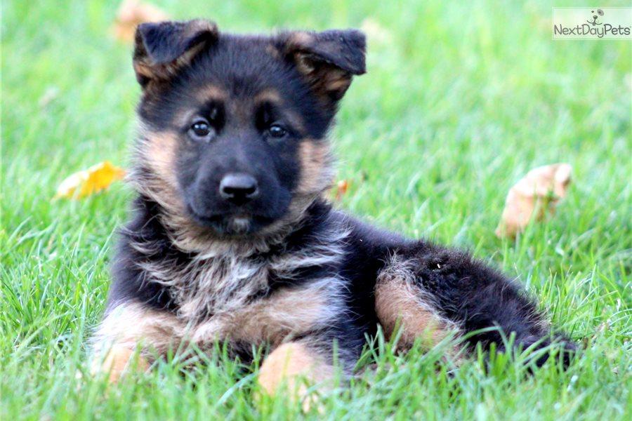 Victoria: German Shepherd puppy for sale near In Sweden