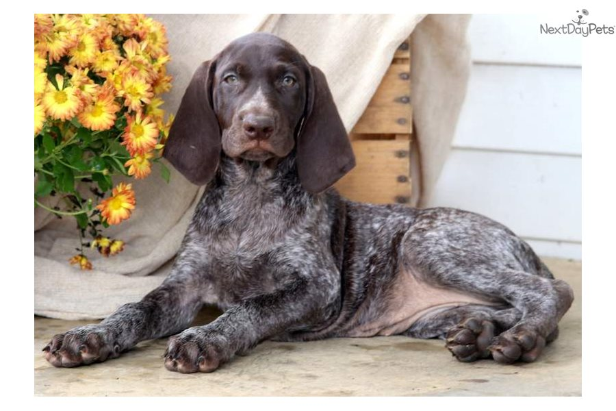 Milly German Shorthaired Pointer Puppy For Sale Near Lancaster