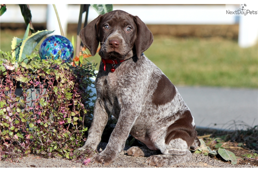 Opal German Shorthaired Pointer Puppy For Sale Near Lancaster