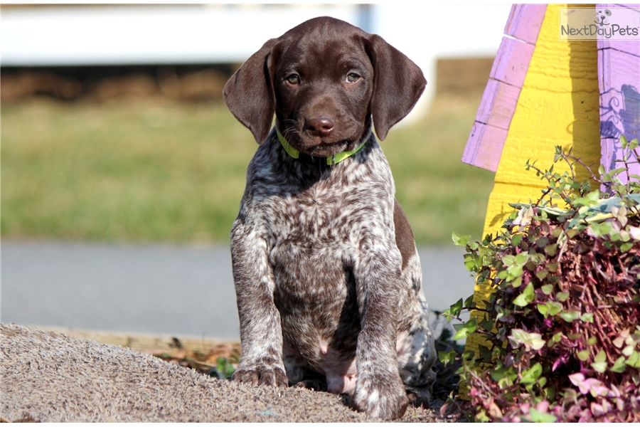 Copper German Shorthaired Pointer Puppy For Sale Near