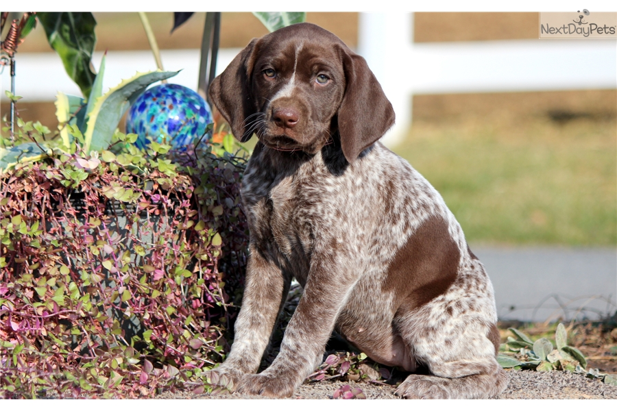 Sapphire German Shorthaired Pointer Puppy For Sale Near Lancaster