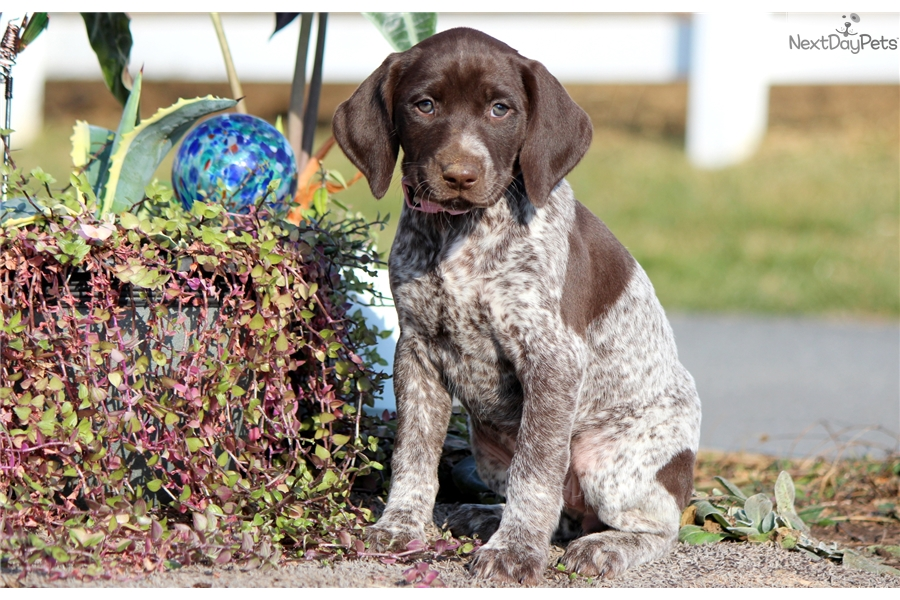 Pearl German Shorthaired Pointer Puppy For Sale Near Lancaster