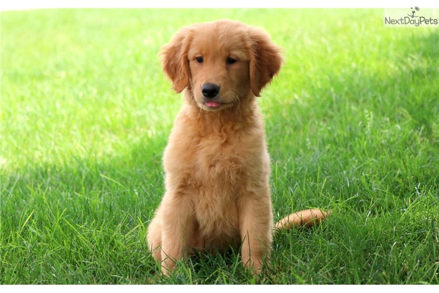 Ginger Golden Retriever Puppy For Sale Near Lancaster Pennsylvania