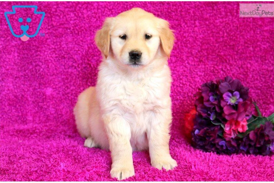 Jenna Golden Retriever Puppy For Sale Near Lancaster Pennsylvania