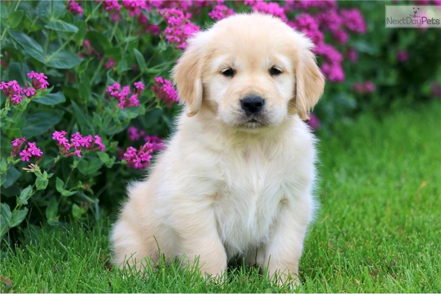 Bentley Golden Retriever Puppy For Sale Near Lancaster