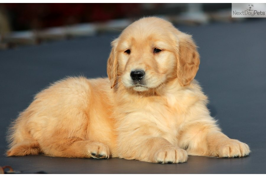 Golden Retriever Puppies For Sale In Nc
