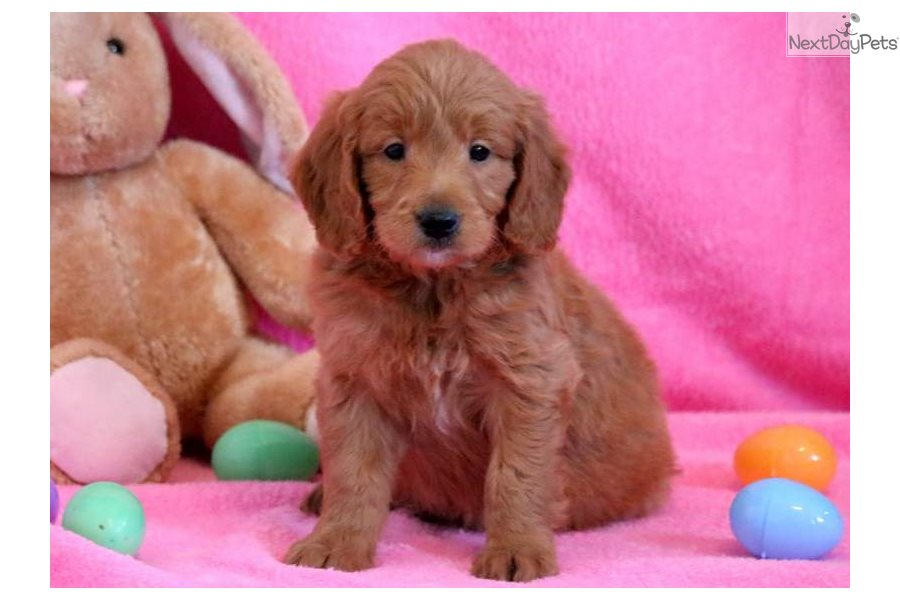 Petey Goldendoodle Puppy For Sale Near Lancaster