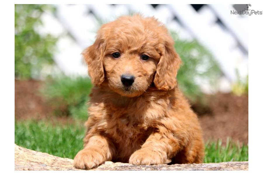 Reeces Goldendoodle Puppy For Sale Near Lancaster