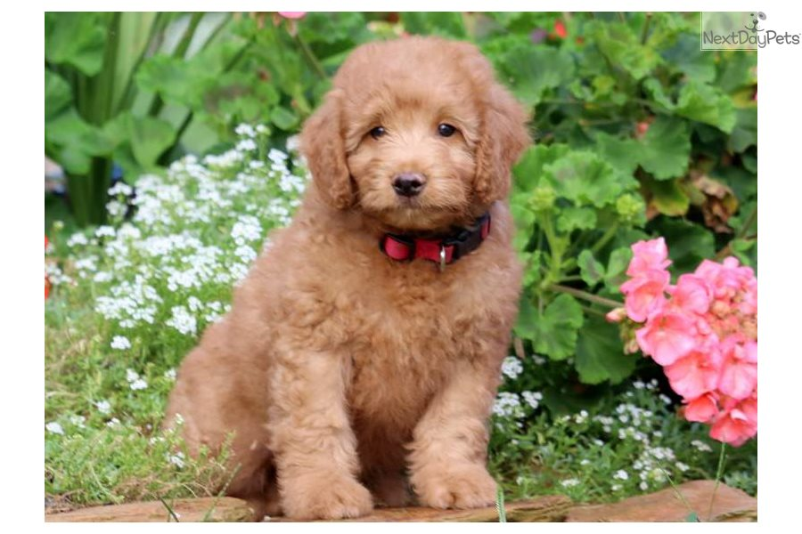Preston Goldendoodle Puppy For Sale Near Lancaster