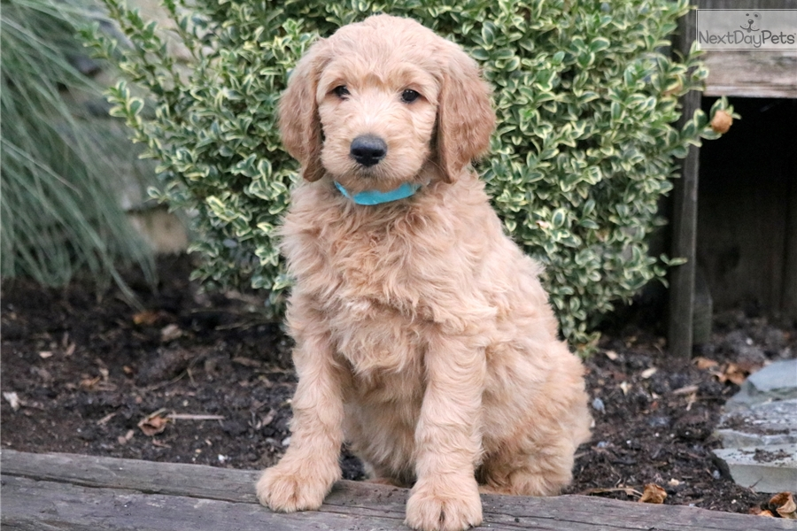 Barney Goldendoodle Puppy For Sale Near Lancaster