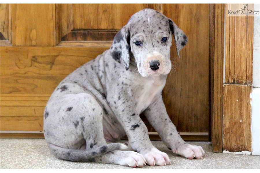 marble great dane puppy for sale near lancaster pennsylvania