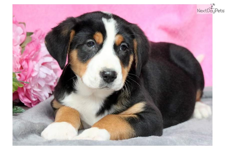 Pebbles Greater Swiss Mountain Dog Puppy For Sale Near