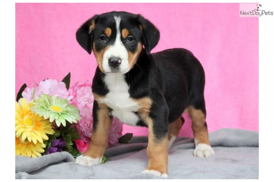 Pink Greater Swiss Mountain Dog Puppy For Sale Near