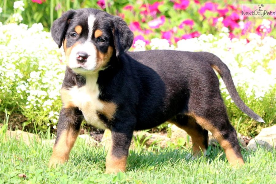 Darling Dorothy: Greater Swiss Mountain Dog puppy for sale ...