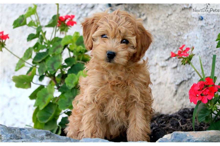Bobo: Havapoo puppy for sale near Lancaster, Pennsylvania ...