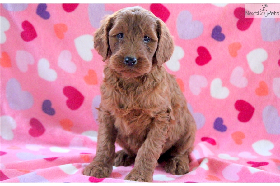 Irishdoodle Puppies For Sale From Reputable Dog Breeders