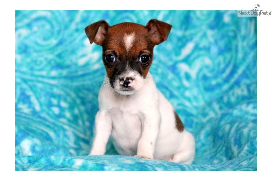 Carmel: Jack Russell Terrier puppy for sale near Lancaster