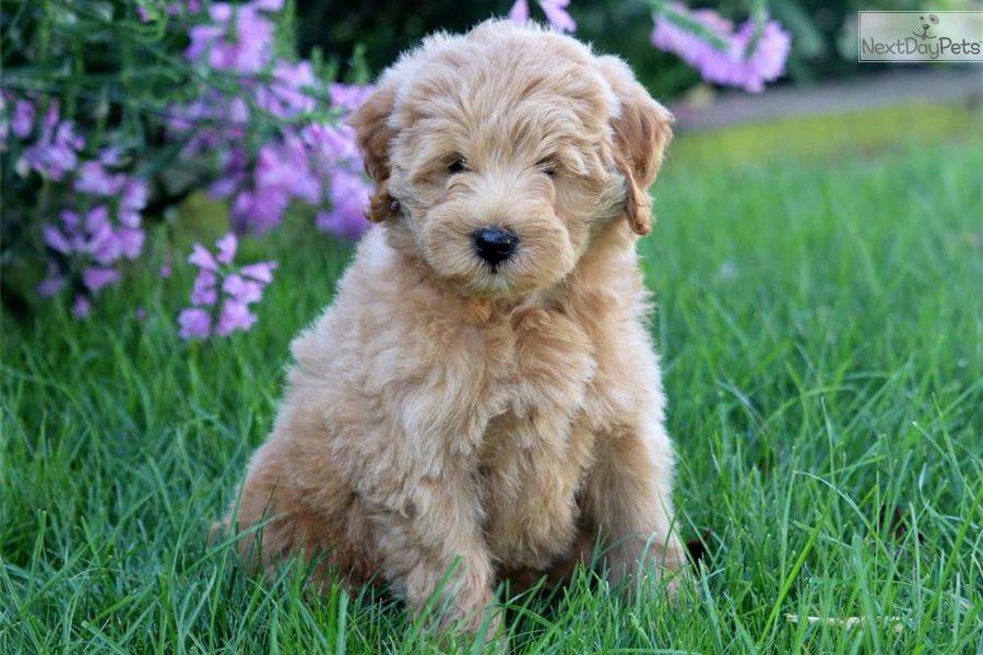 Cinnamon Labradoodle Puppy For Sale Near Lancaster