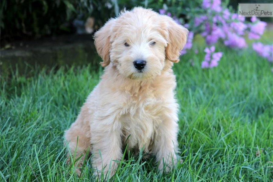 Care Bear Labradoodle Puppy For Sale Near Lancaster
