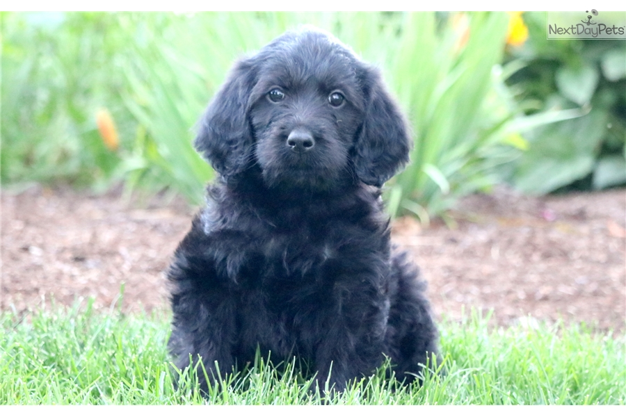 Panther Labradoodle Puppy For Sale Near Lancaster Pennsylvania