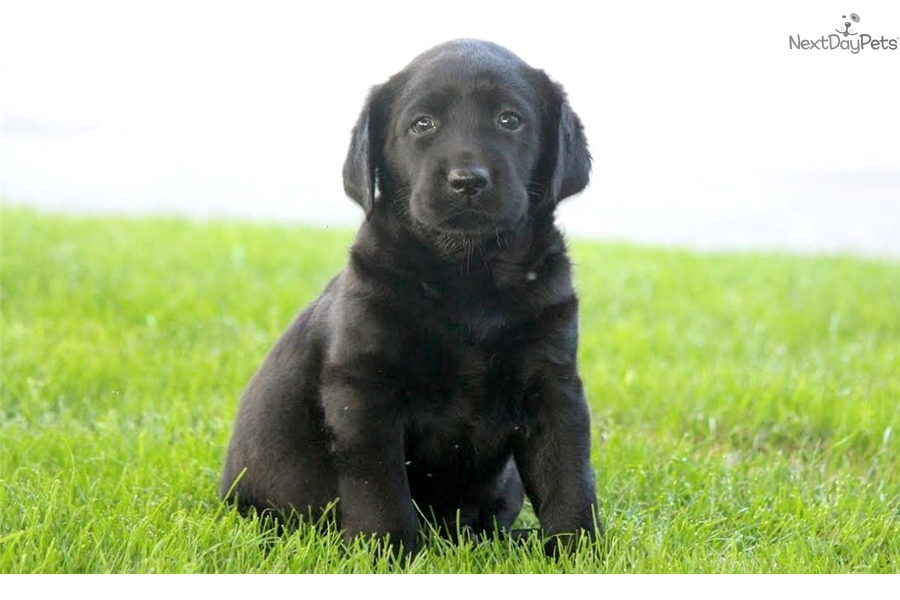 lost labrador retriever and black labrador The labrador retriever has consistently ranked as the most popular purebred dog in the united states for more than 10 years, according to the american kennel club.