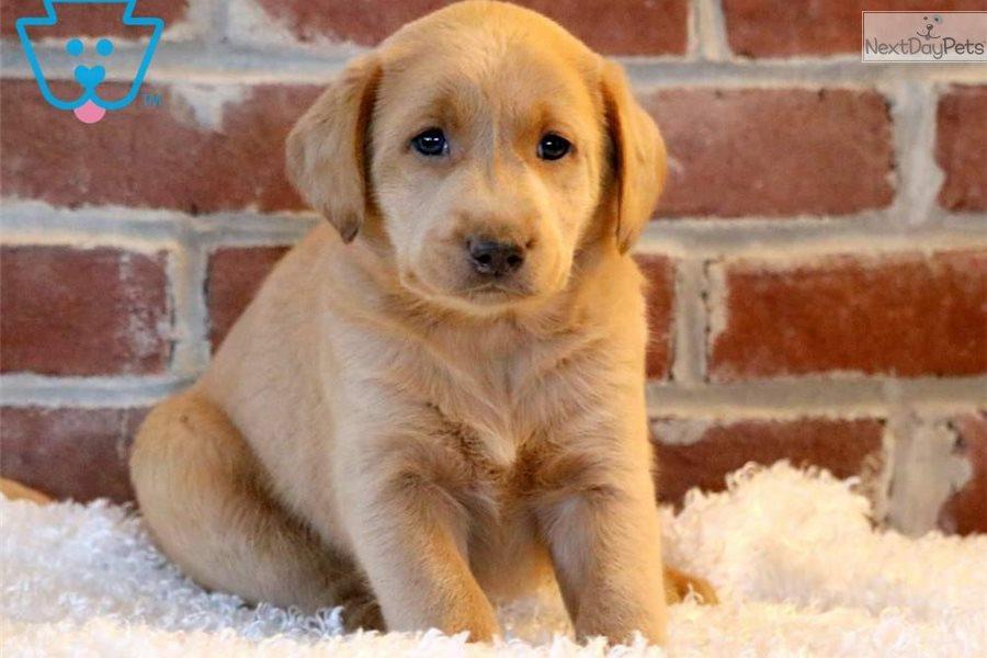 Brady Labrador Retriever Puppy For Sale Near Lancaster