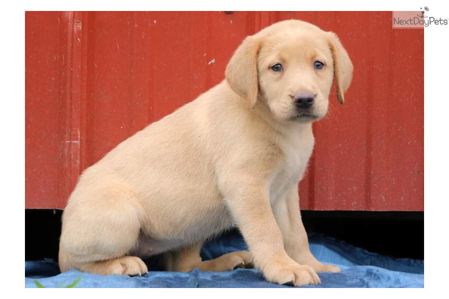 Candy Labrador Retriever Puppy For Sale Near Lancaster