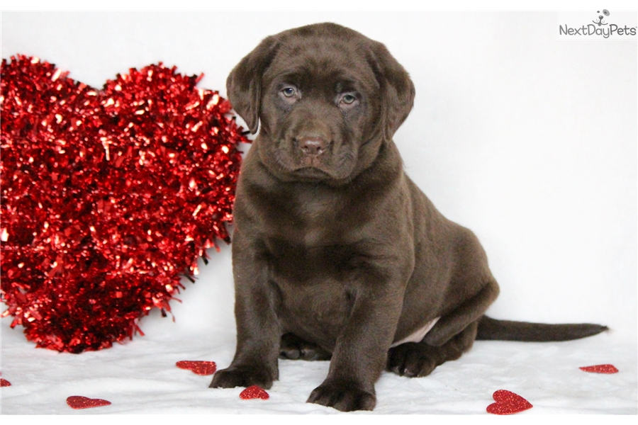 Great Chocolate Lab Chubby Adorable Dog - labrador-retriever-puppy-picture-947db27c-a246-405f-90c6-8214bda3f9ea  Collection_65517  .jpg