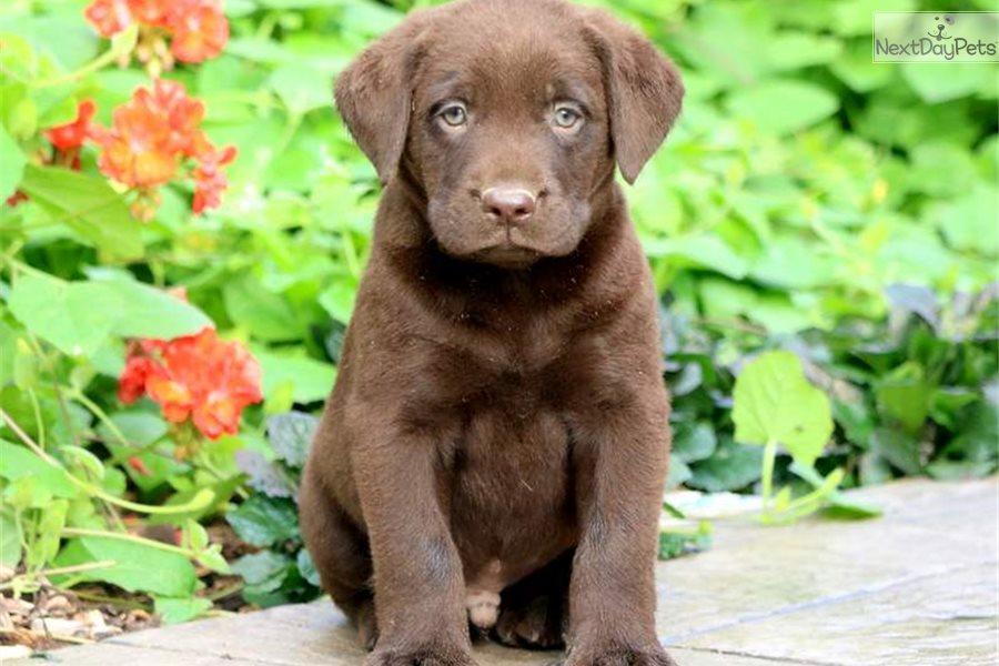 Panther Labrador Retriever Puppy For Sale Near Lancaster