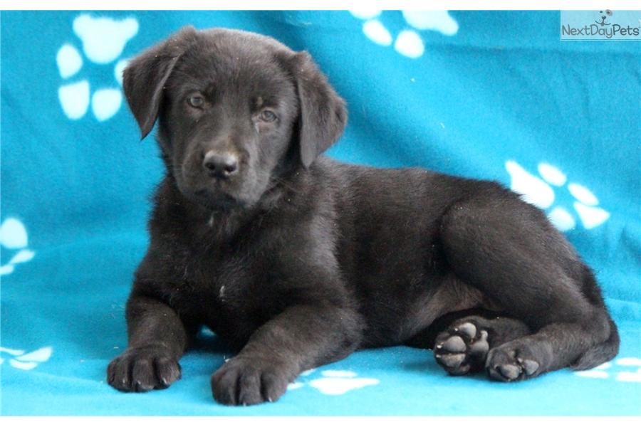 Princess Labrador Retriever Puppy For Sale Near Lancaster