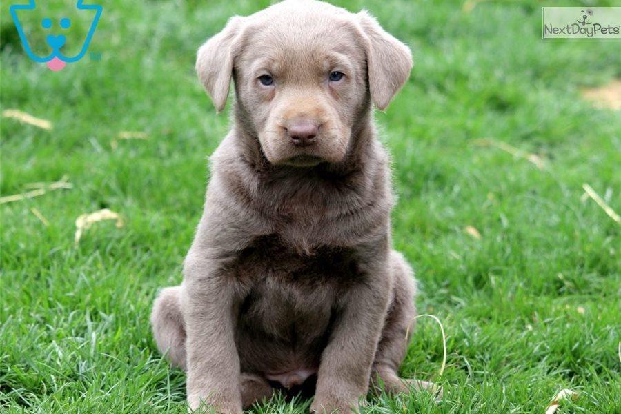 Merle: Labrador Retriever puppy for sale near Lancaster