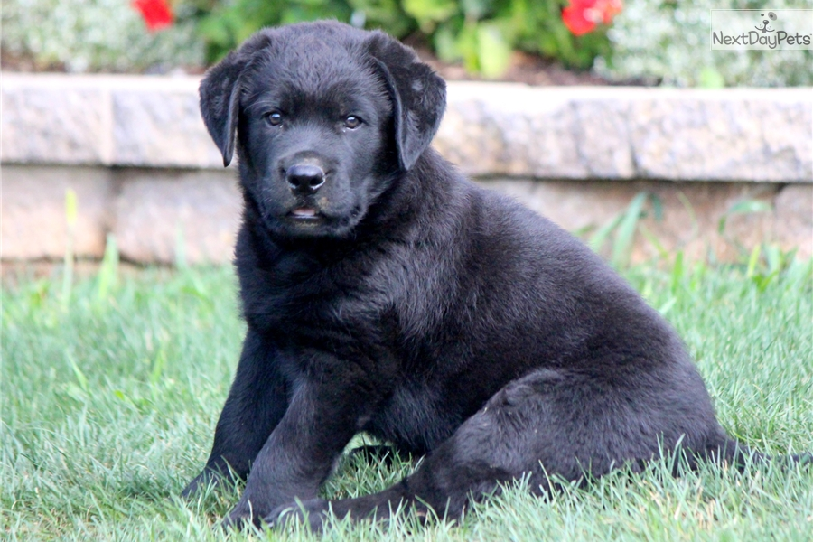 Captain Labrador Retriever Puppy For Sale Near Lancaster