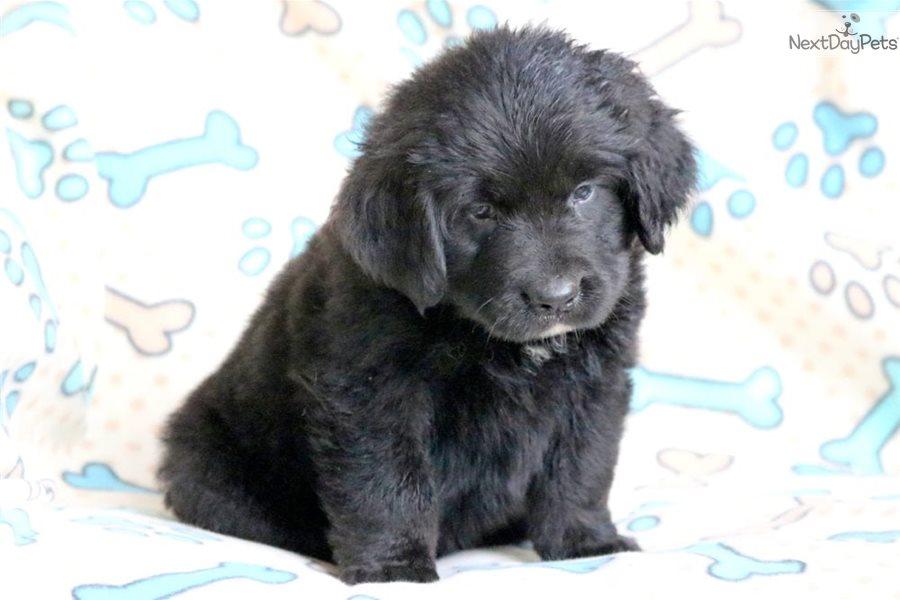 Bubba Newfoundland Puppy For Sale Near Lancaster