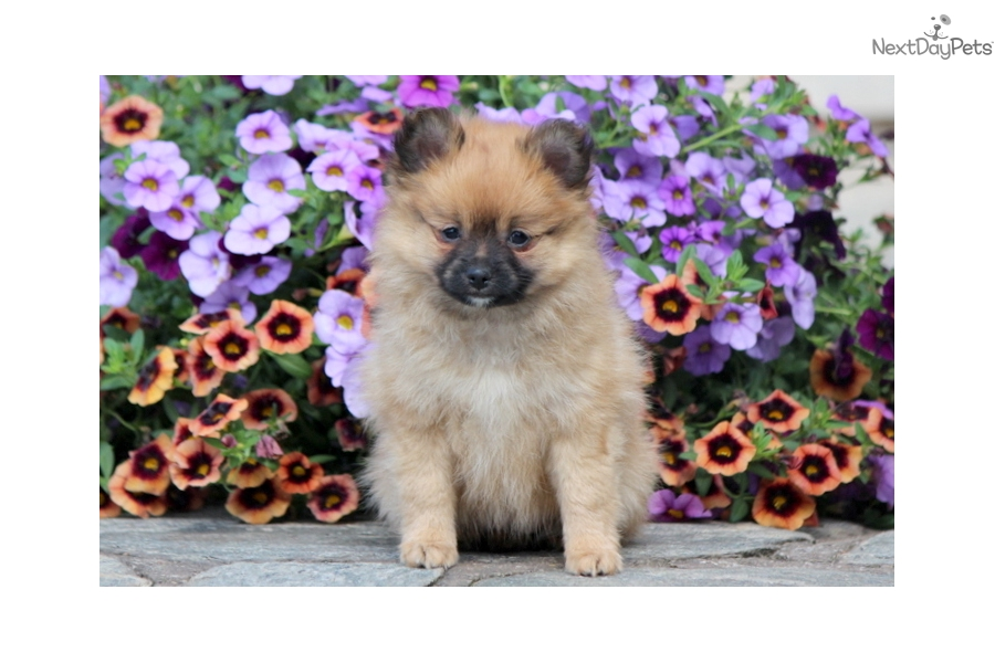 pomeranian groomer near me cupcake pomeranian puppy for sale near lancaster 2451
