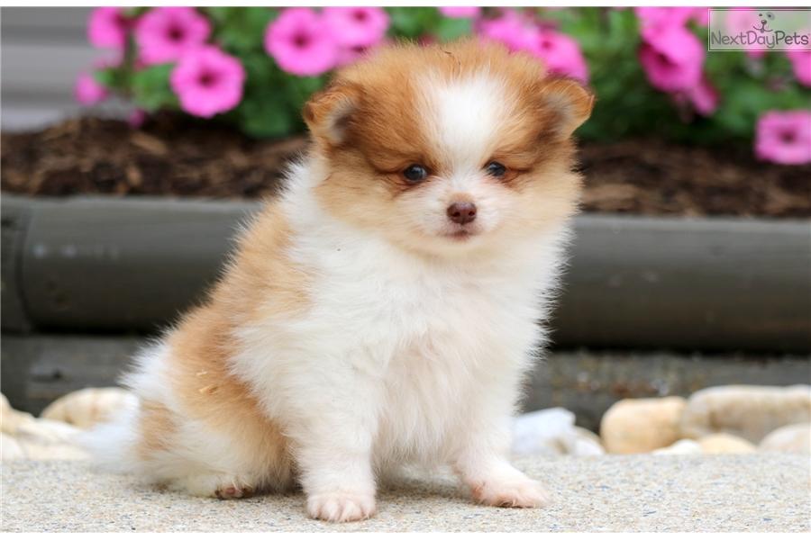Houston Pomeranian Puppy For Sale Near Lancaster Pennsylvania