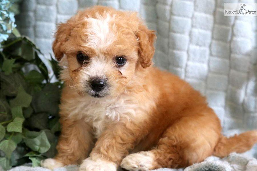 Lance Poodle Miniature Puppy For Sale Near Lancaster