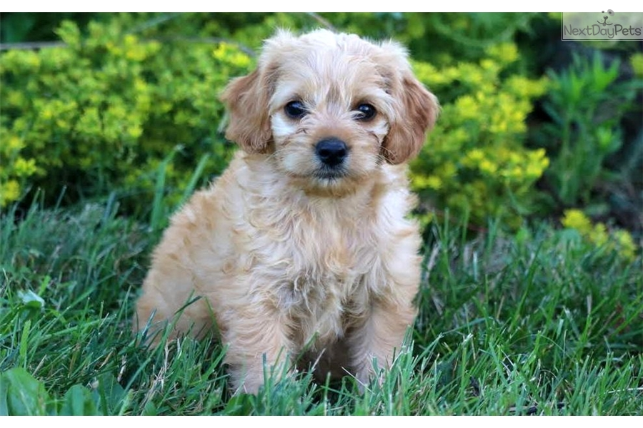 Baby Poodle Miniature Puppy For Sale Near Lancaster Pennsylvania