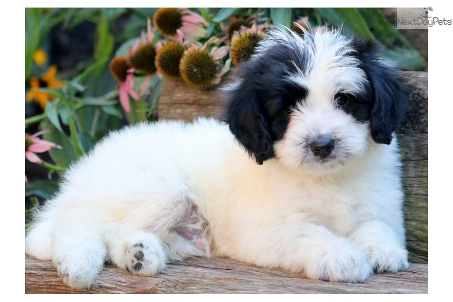 Snoopy Poodle Miniature Puppy For Sale Near Lancaster
