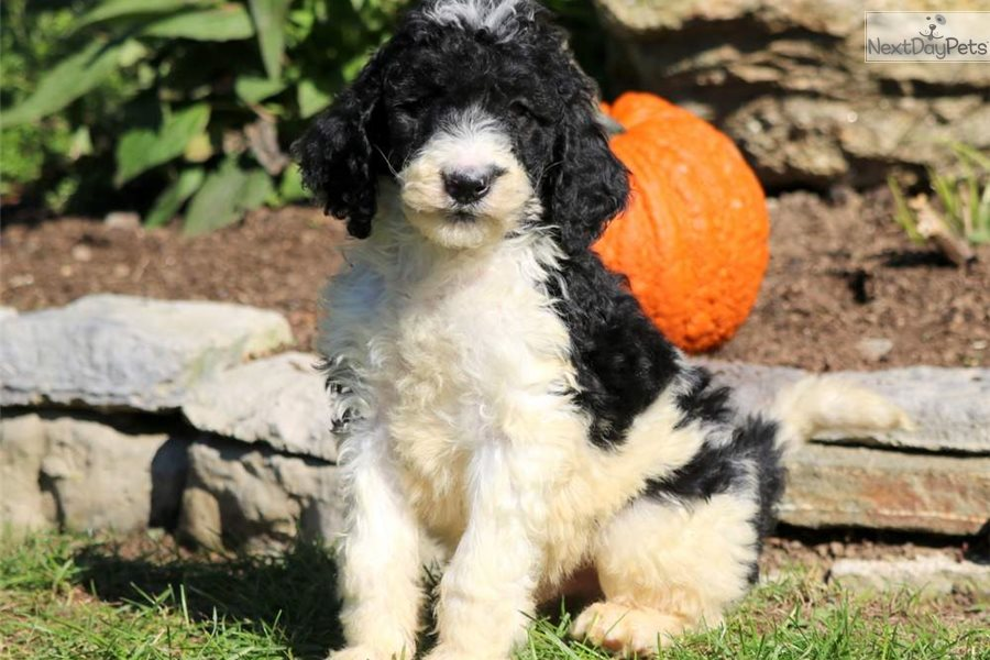 Panther Poodle Standard Puppy For Sale Near Lancaster