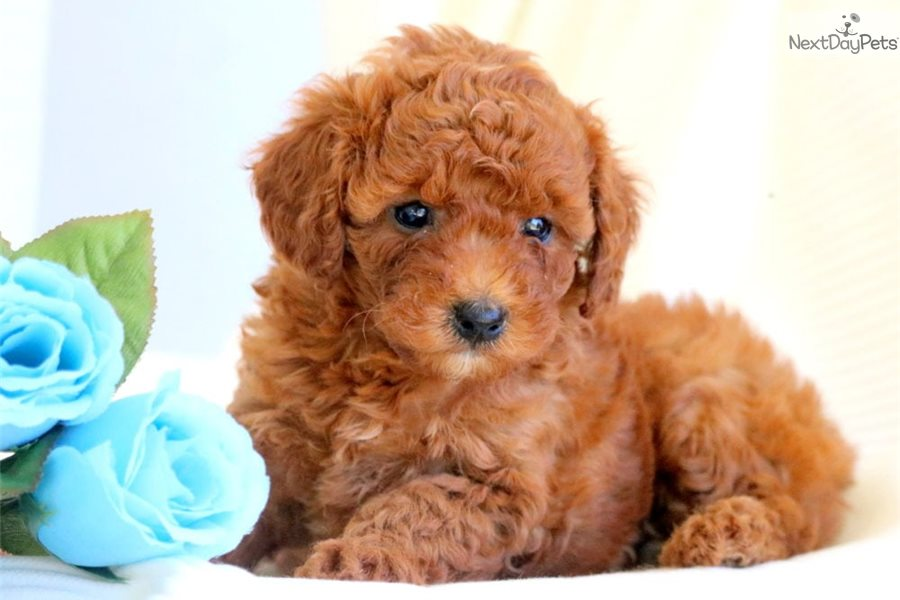 Amber Poodle Toy Puppy For Sale Near Lancaster