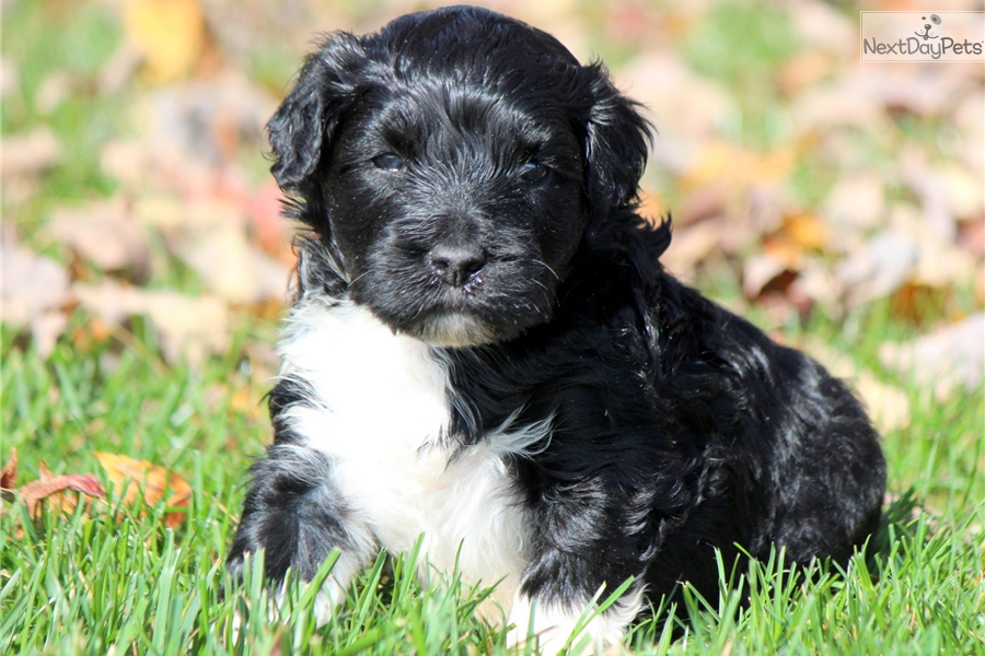 Portuguese Water Dog Training