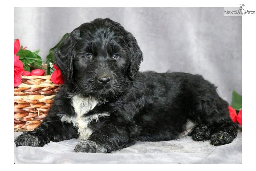 Panther Portuguese Water Dog Puppy For Sale Near Lancaster