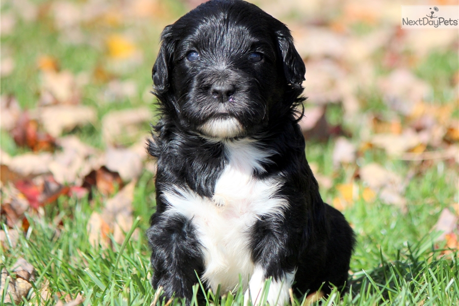 Portuguese Water Dog For Sale Bc