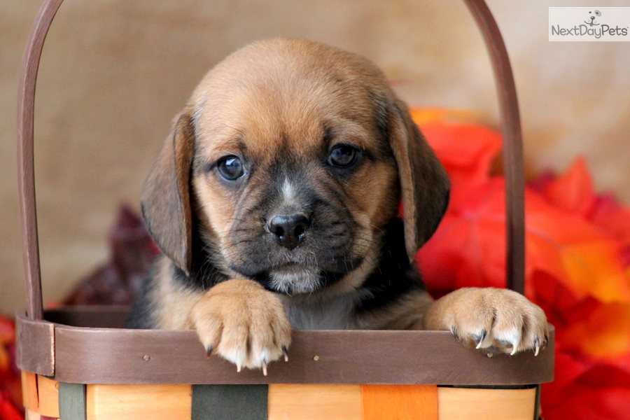 puggle puppy for sale near lancaster pennsylvania puggle puppy for sale near lancaster pennsylvania