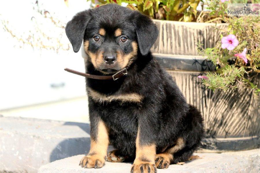 Lou Rottweiler Puppy For Sale Near Lancaster Pennsylvania